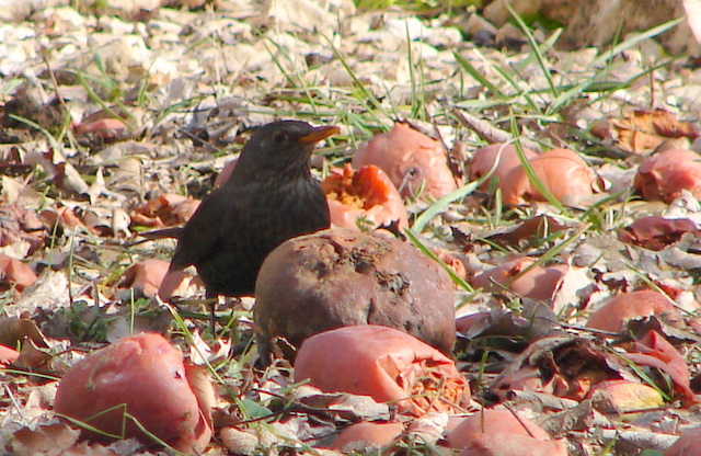 blackbird eating windfall apples