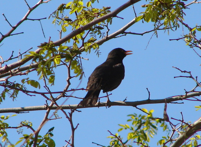 male blackbird singing in tree