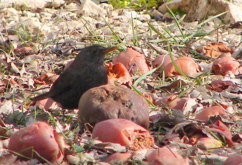 blackbird eating windfall apples in winter