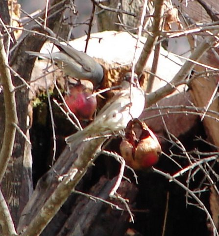 blackcap and sparrow on pomegranate