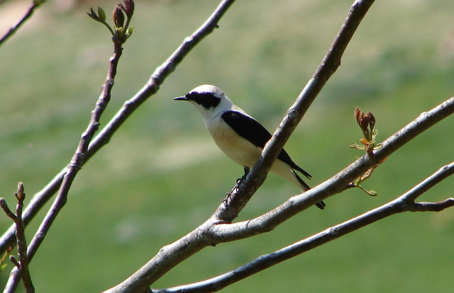 black-eared wheatear in April