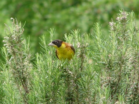 male blackheaded bunting on rosemary