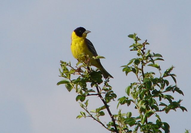 male black headed bunting