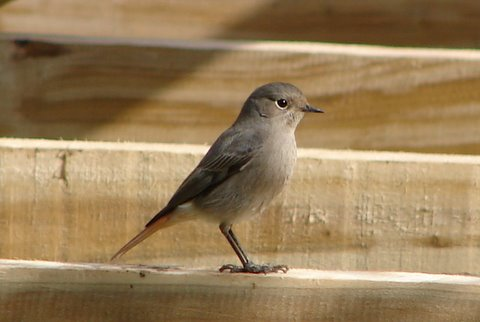 black redstart in winter