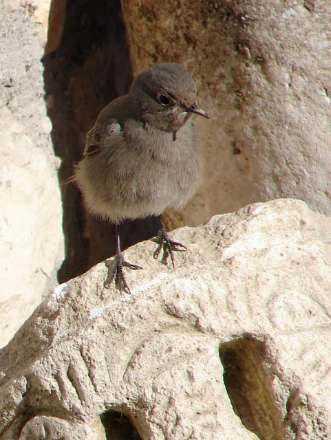 black redstart on an ancient piece of carved stone.