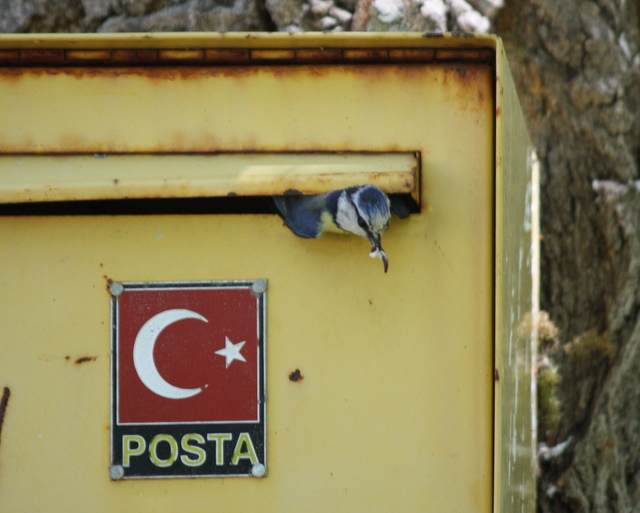 bluetits nesting in post box