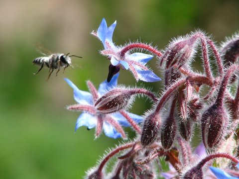 mason wasp on borage