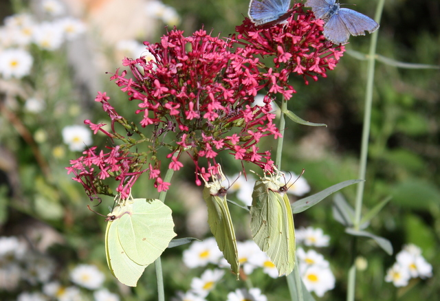 Powdered Brimstone & Common Blue butterflies on valerian