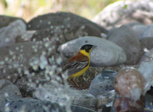 black headed bunting has a drink and a bath