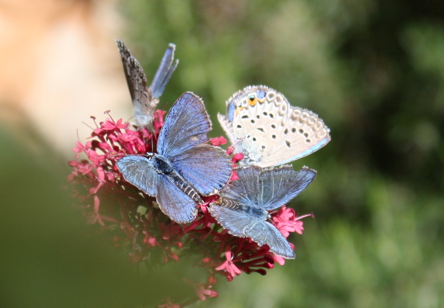 four blue butterflies on valerian flower