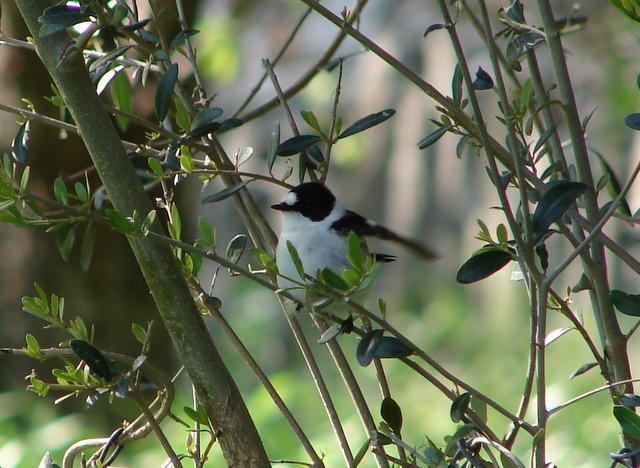 collared flycatcher in olive tree