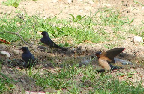 swallows collecting mud for nests