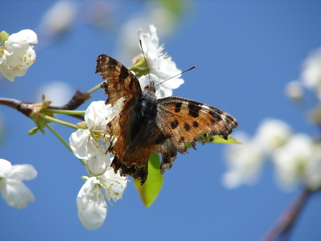 Comma butterfly on cherry blossom