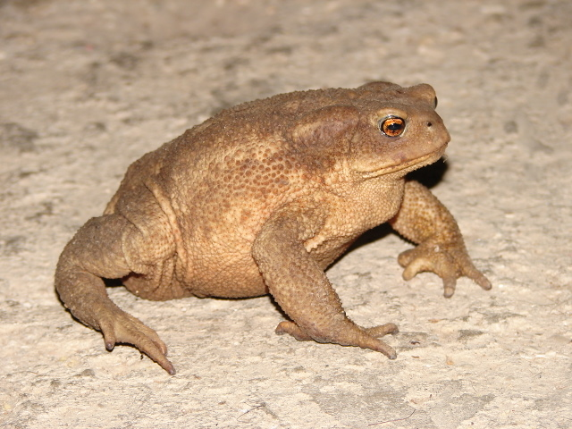common toad, <i>bufo bufo </i>