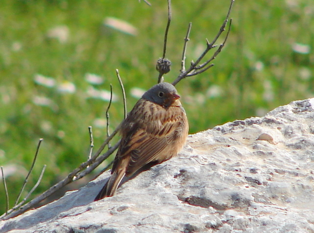 Cretzschmar's bunting on a rock
