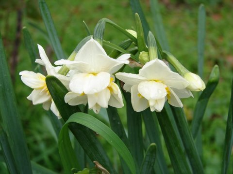 Daffodils open on New Year's Day