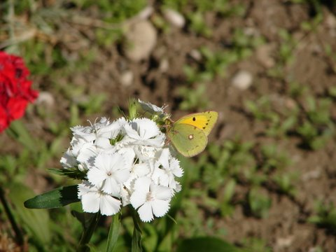 Dark Clouded Yellow butterfly on Sweet William