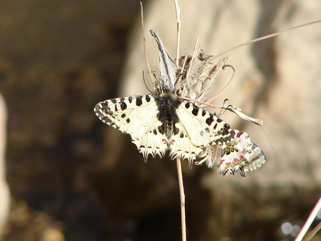 a pair of Eastern Festoon butterflies