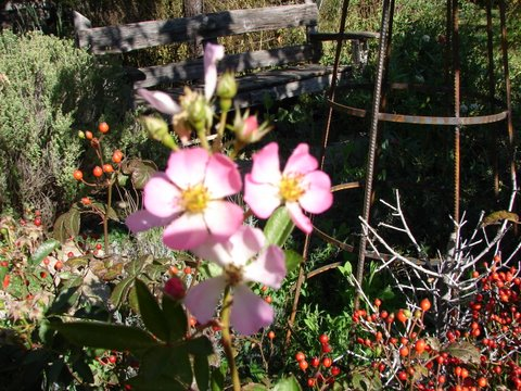 rosehips and flowers together on fairy rose