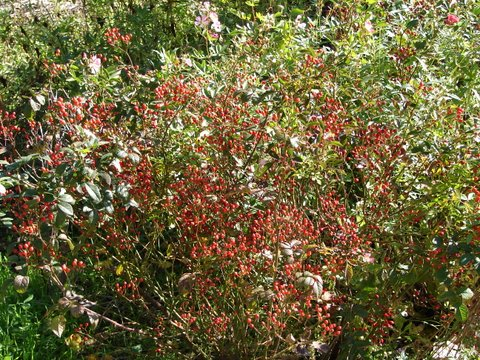 display of rosehips on fairy roses