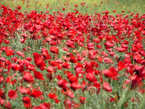 poppyfield in full bloom