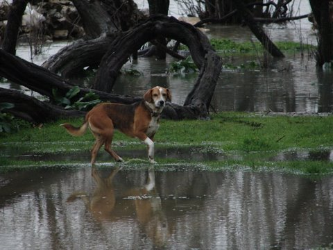 cleo beagle in a flooded field