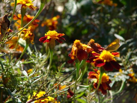 French marigolds give a late display of colour in the vegetable patch