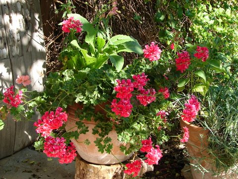 ivy-leaved geraniums in a terracotta tub