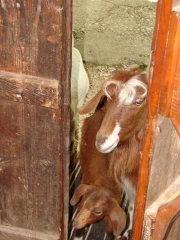 the goats have a closer look in the pension