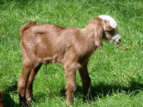 one of the goat's babies