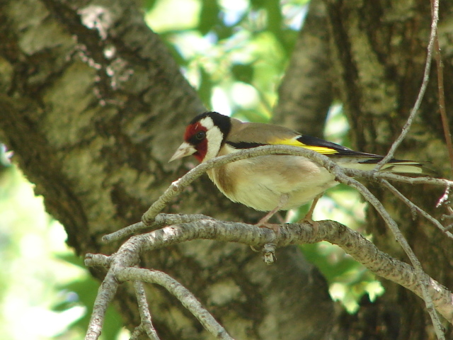 male goldfinch in spring