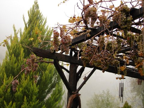grapes on the vine last through the winter