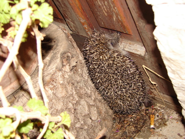 meandering hedgehog