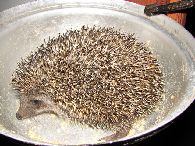 hedgehog enjoys dogs' dinner