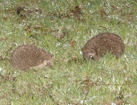 pair of hedgehogs
