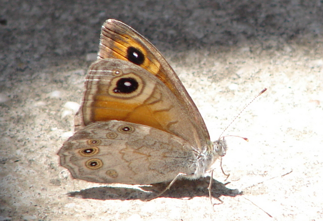 Large Wall Brown Butterfly