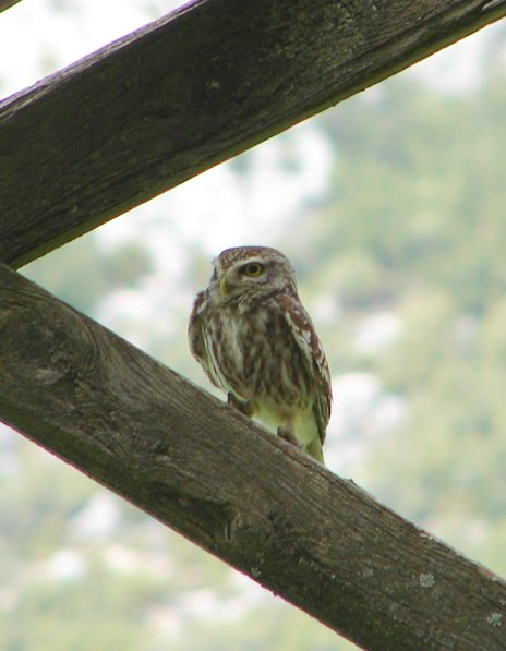 little owl on old farmhouse