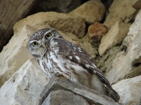little owl on traditional farmhouse