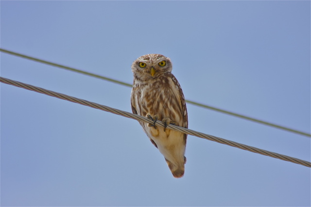 little owl on telephone wire