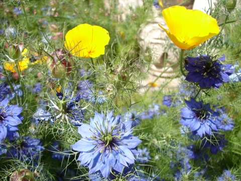 california poppies with love-in-a-mist