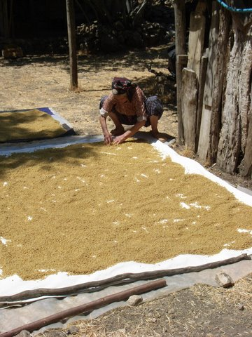 drying boiled wheat in the sun to make bulgur