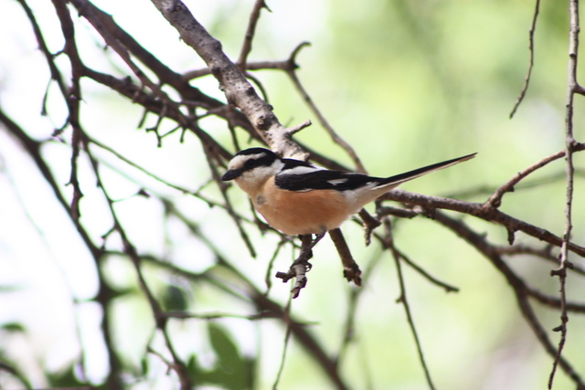 masked shrike in July