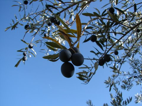 olives ready to pick