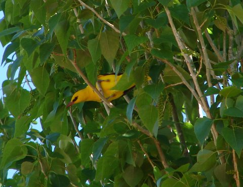 oriole in poplar tree