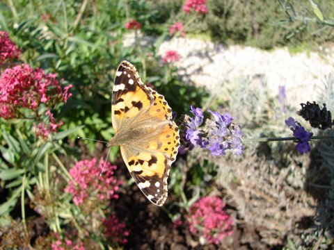 painted lady butterfly on valerian