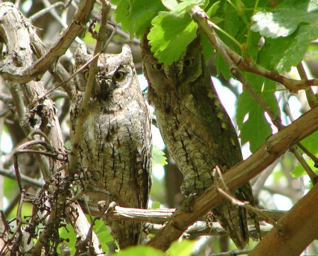pair of scops owls