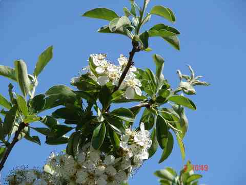 the gorgeous white blossom of pear