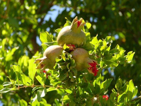 pomegranate fruits forming on the tree