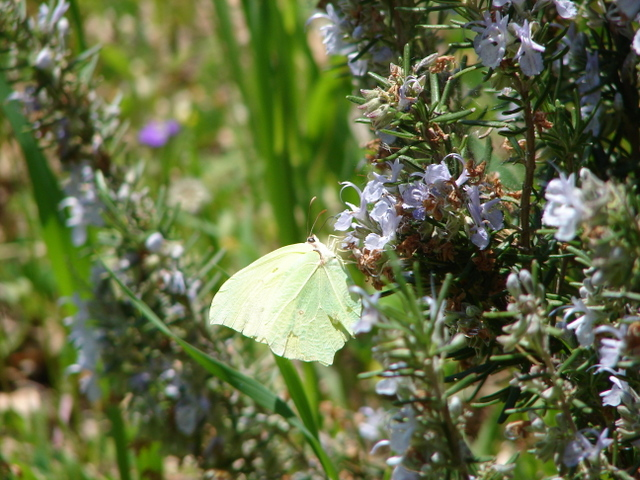 Powdered Brimstone butterfly