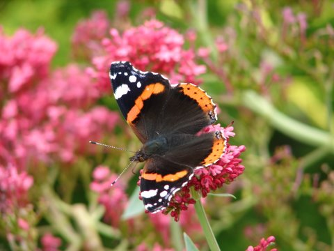 red admiral butterfly on valerian